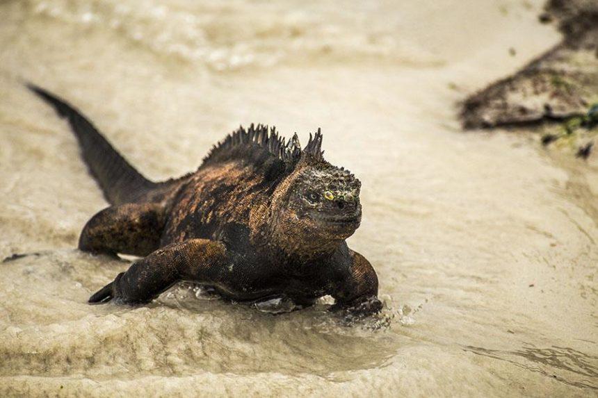 SANTA CRUZ GALAPAGS - IGUANA ON THE BEACH