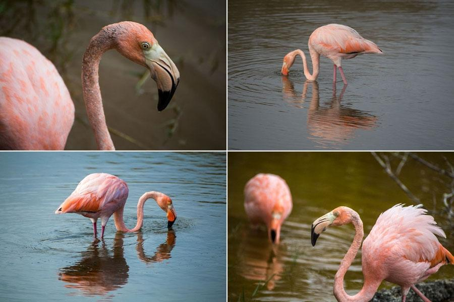 where to find flamingos in Latin America