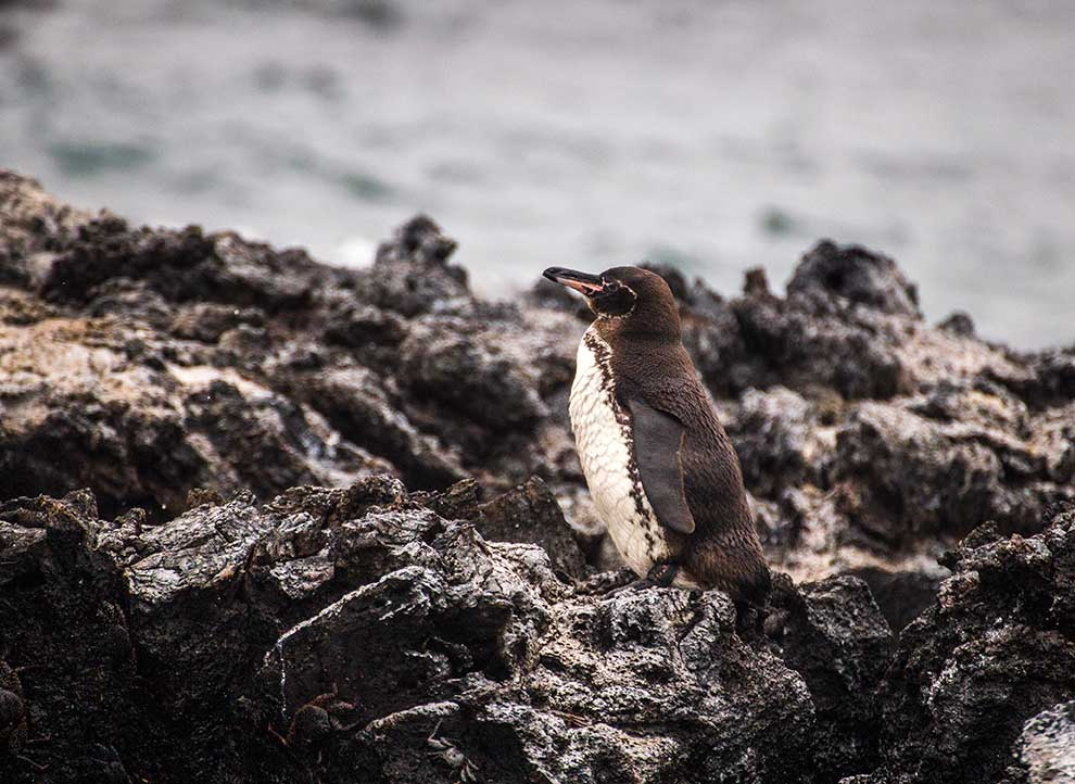 galapagos-pinguin - Galapagos islands Vacations - Galapagos travel itinerary Boundless Roads