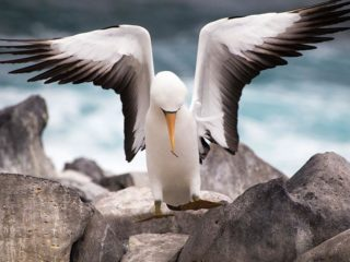 Nazca boobie - The animals of the Galapagos islands _ Boundless Roads