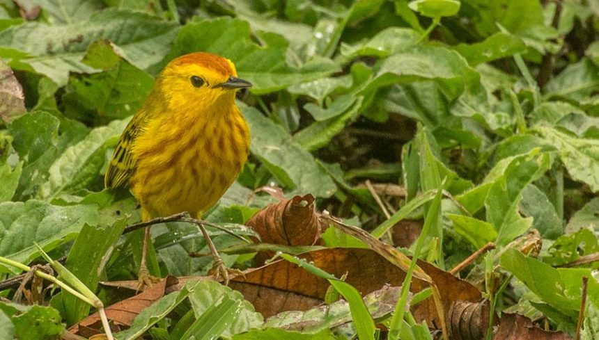 Yello Warbler The animals of the Galapagos Islands