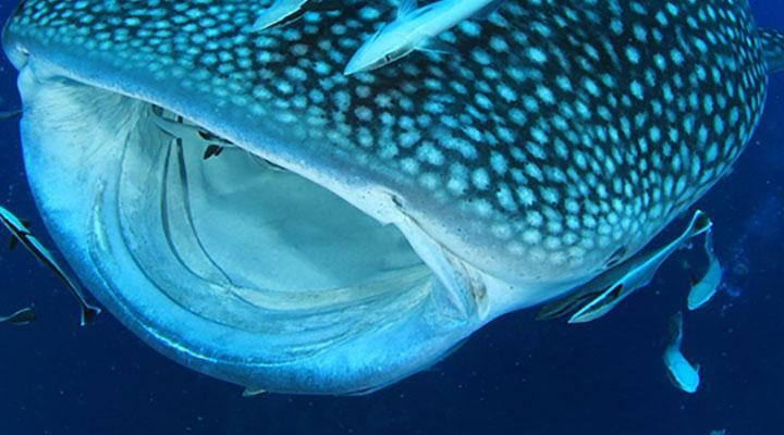 A WHALE SHARK WITH AN OPEN MOUTH