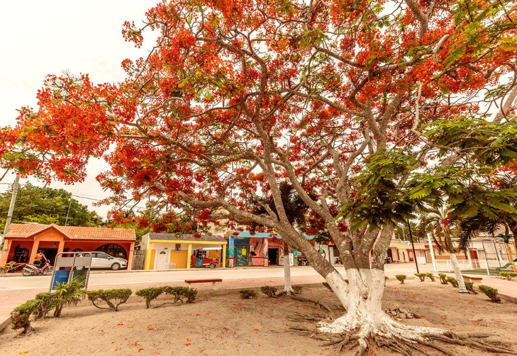 The plaza at El cuyo with a huge flamboyant tree with red flowers