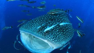 whale shark in the ocean surrounded by small fishes