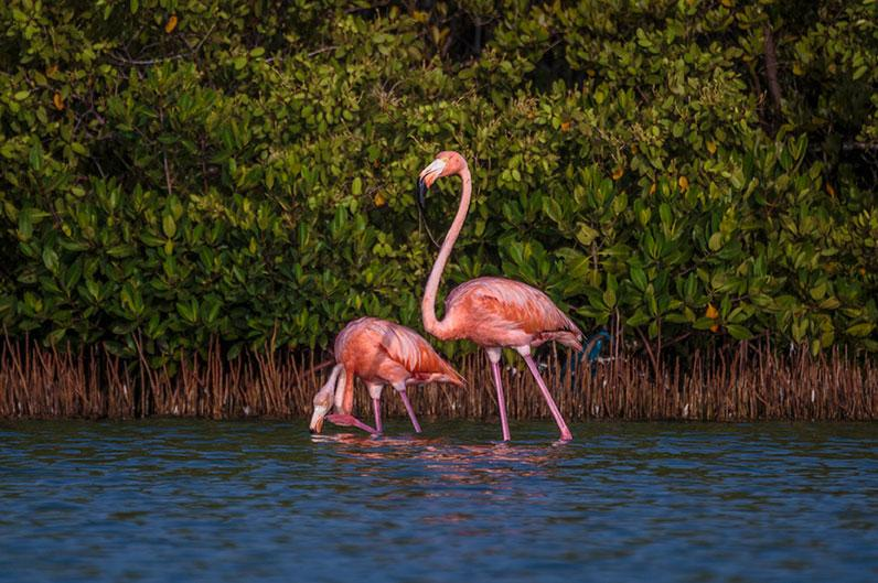 Pink flamingo with a mangrove background