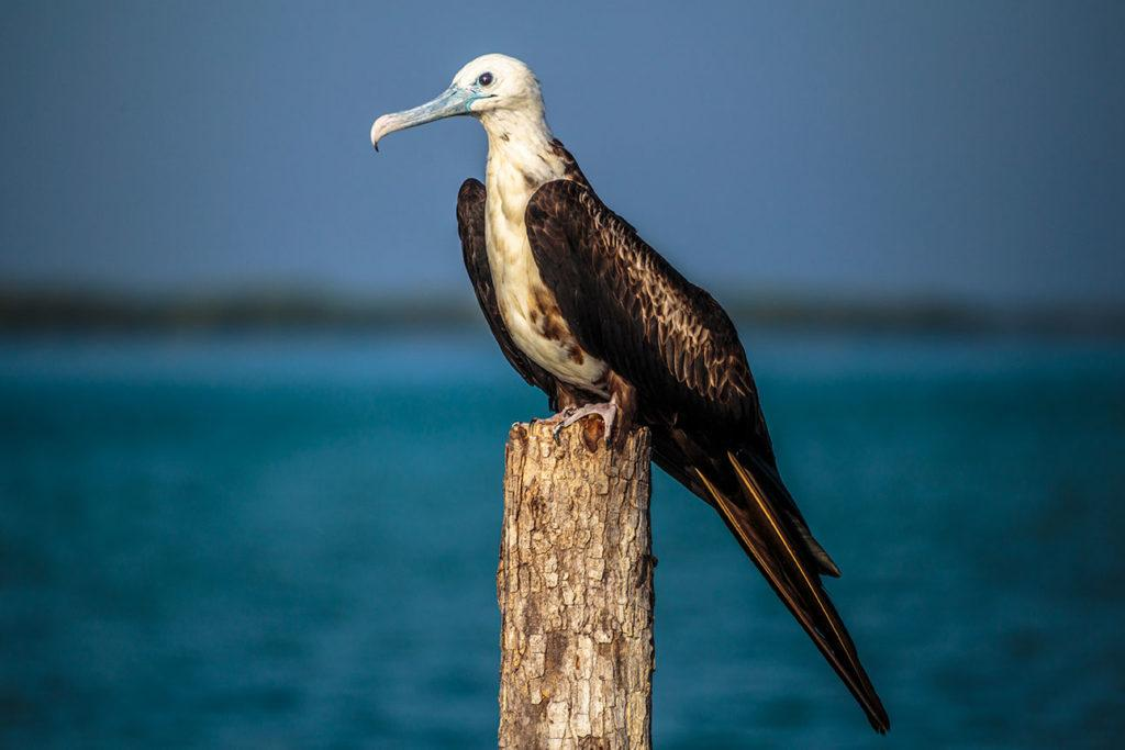 Fregate bird on a wooden pole in the river