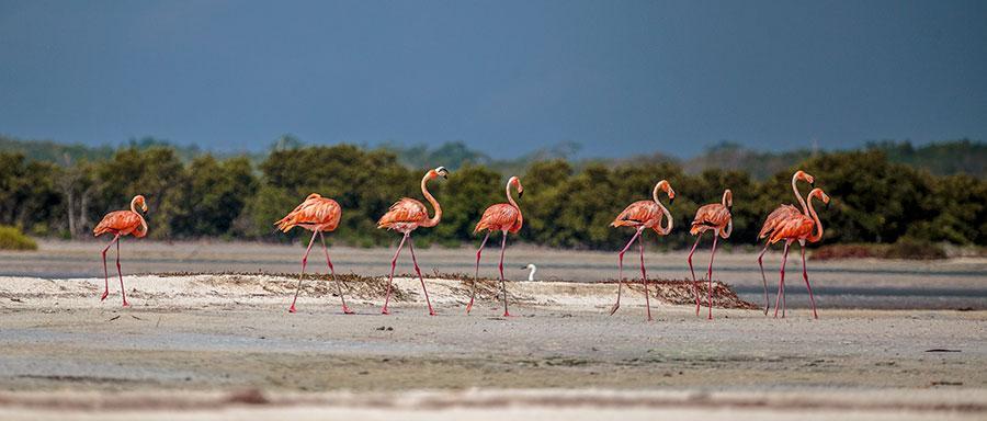 Flamingoes walking on a bank of sand in Rio LAgartos