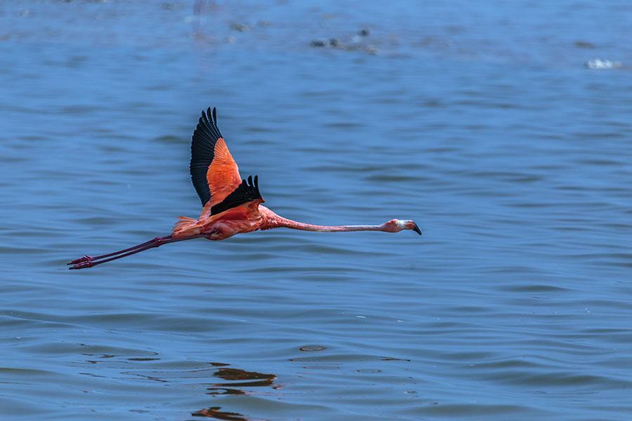 Pink Flamingoe flying over Rio Lagartos (Lagartos River)