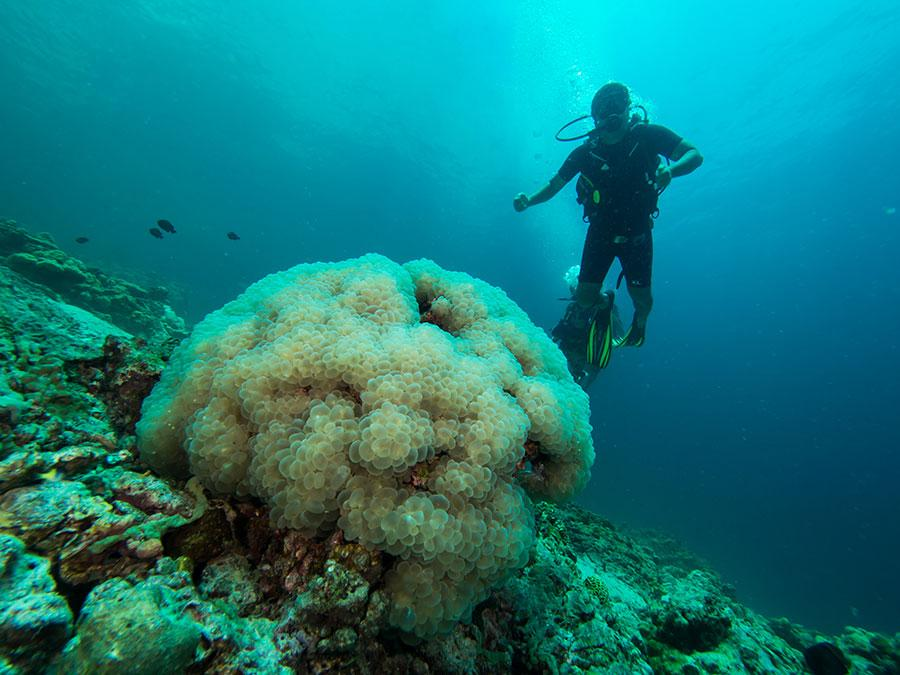 Man diving next to a huge live coral