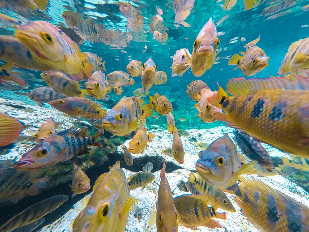 yellow fishes in blue water