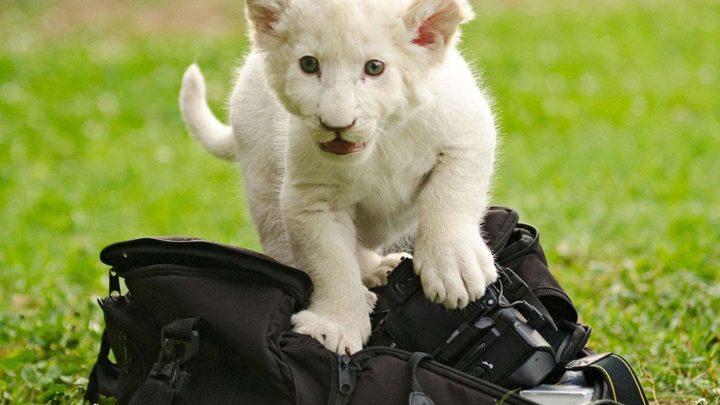 white lion cub on a camera bag - pixabay pic
