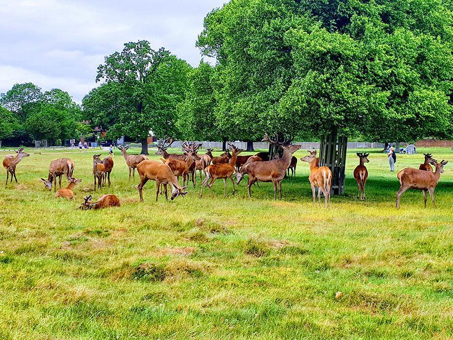 Deers at Richmond park London