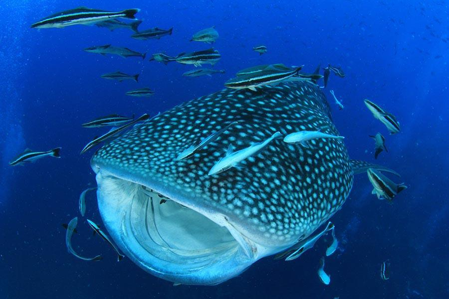 whale shark and other fishes