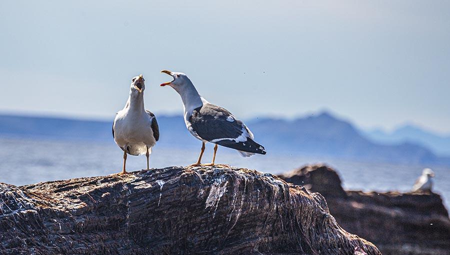 seagulls in Coronado Island