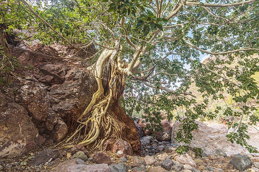 tree in la giganta