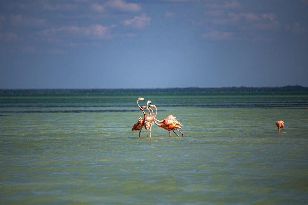 flamingos chatting in holbox