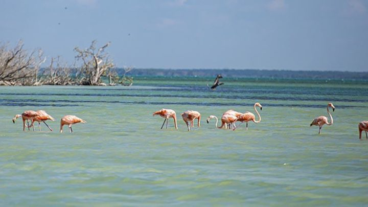 flamingos in holbox blue sea
