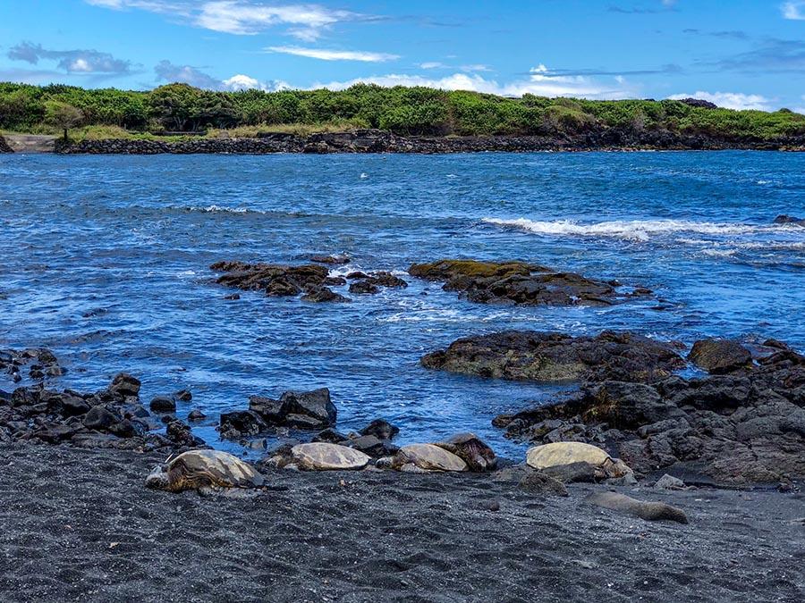 sea turtle on a vulcanic dark beach contrasting the blue ocean