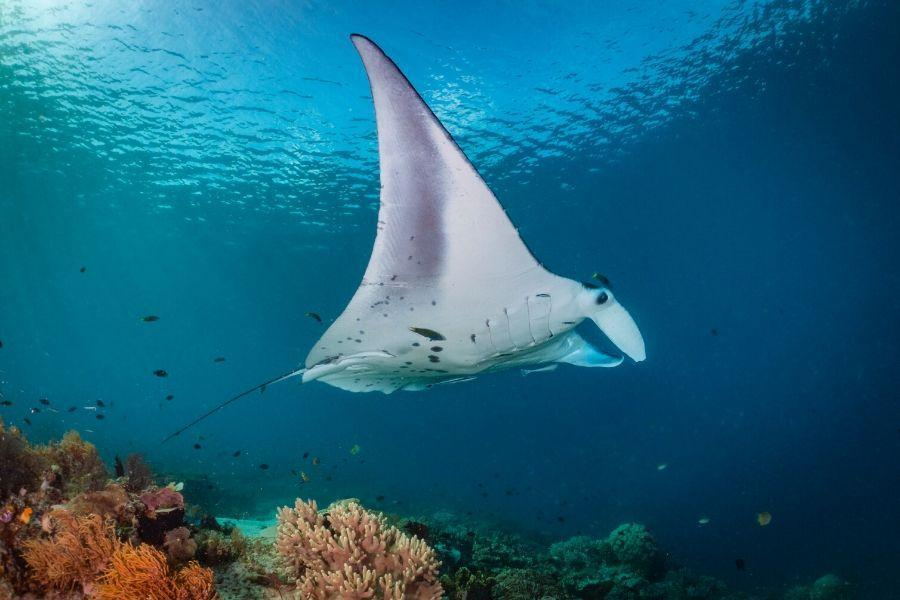 Manta ray in the blue ocean with corals at the bottom