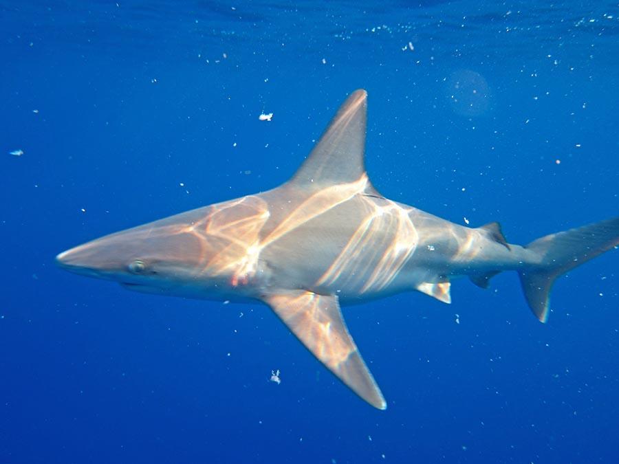 Shark in the blue ocean