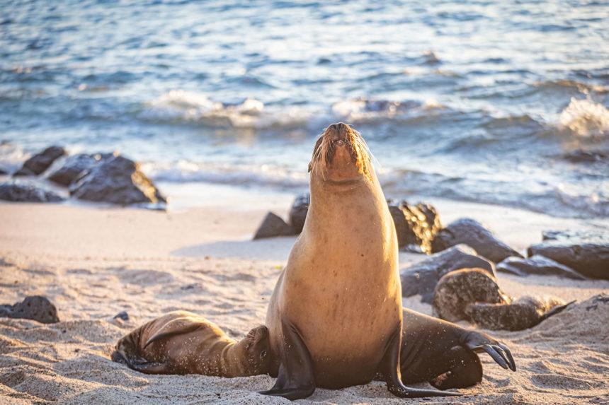 Sea Lion- galapagos