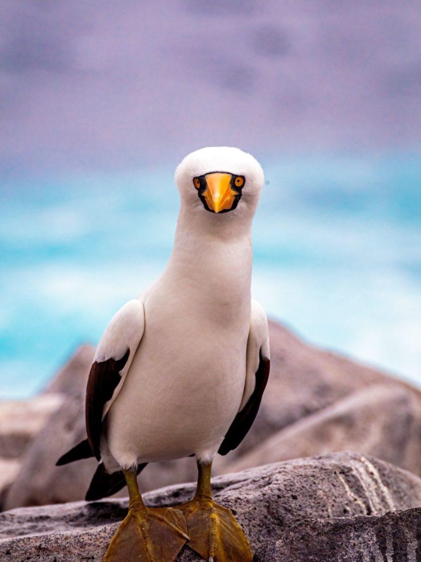 Nasca boobie - white bird with blue background