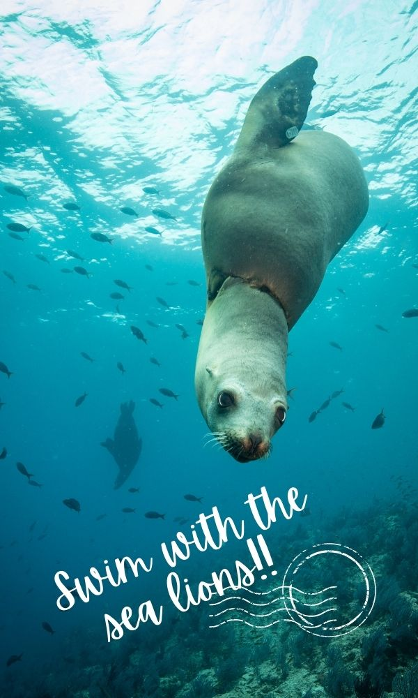 Sea lions underwater - things to do in Baja California