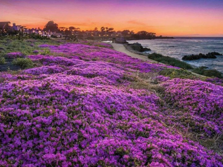 field of flowers and sunset in the horizon