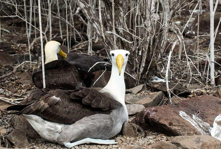 Albatros with its family in Espanola island Galapagos