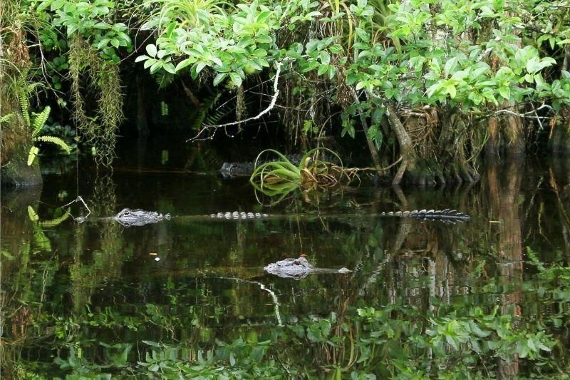 Crocodile swimming in a lagoon