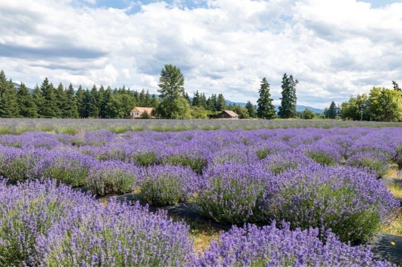 Lavender Valley hood river