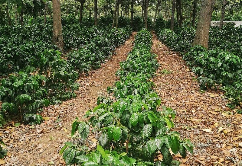 Coffe plantation La Azotea