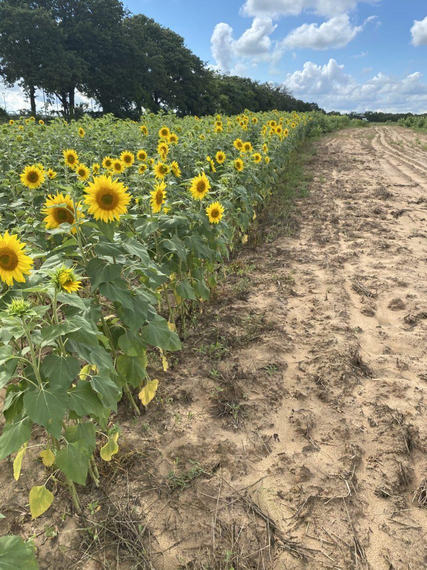 Lonestar sunflower field