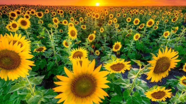 Sunflower fields in Texas