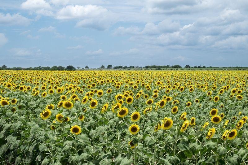 texas sun flower fields