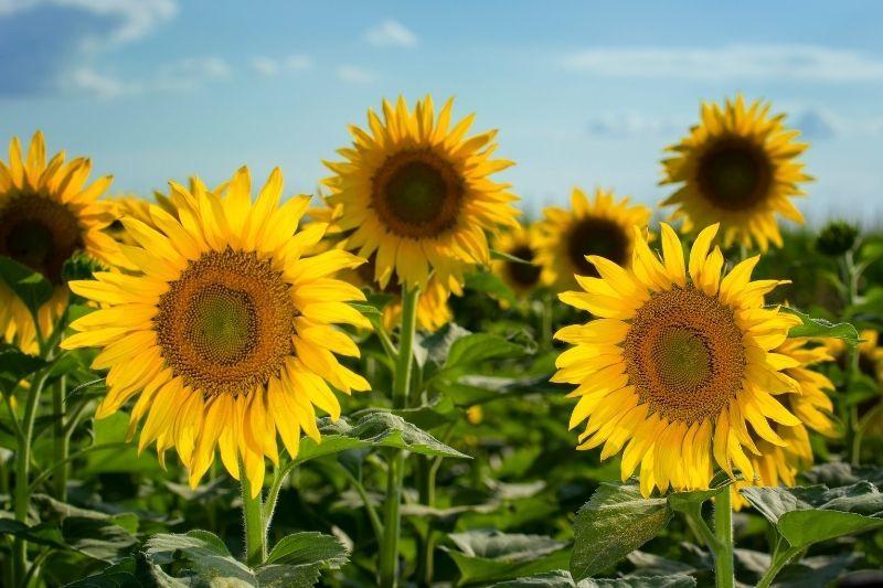 texas sunflower fields